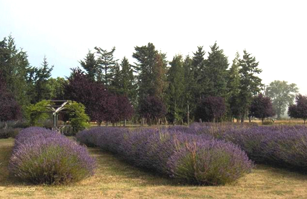 Sequim Lavender Farm